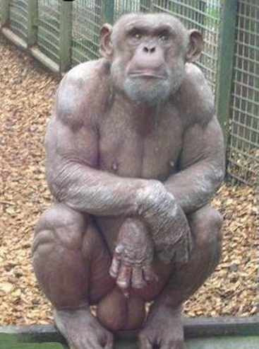 [Image: bald-chimpanzee.jpg]
