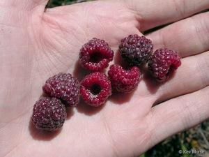 blue raspberry, rubus leucodermis